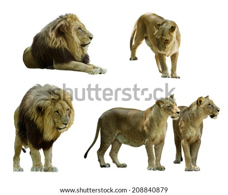Set of  lions. Isolated on white background - stock photo