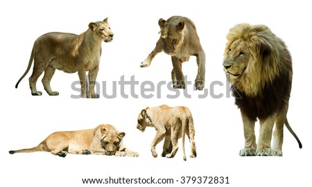 Set of  lions. Isolated over white   - stock photo