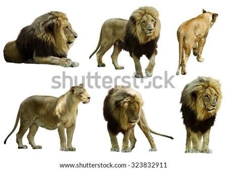 Set of  lions. Isolated over white background   - stock photo