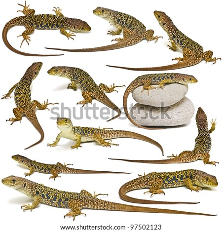 Set of lizards isolated on a white background. - stock photo
