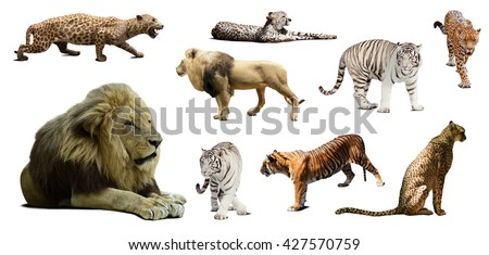 Set of male lion and other big wildcats. Isolated over white background with shade