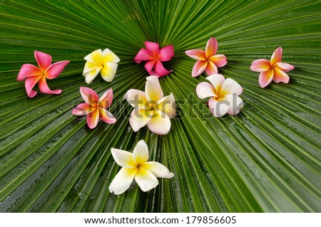 Set of many frangipani and palm leaf - stock photo