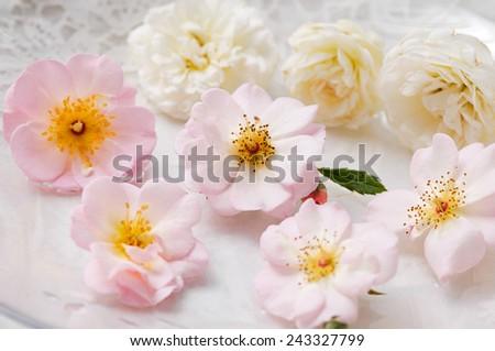 Set of many rose on the white lace  - stock photo