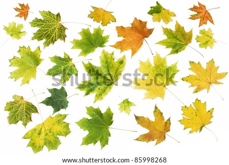 Set of maple leaf isolated on white - stock photo