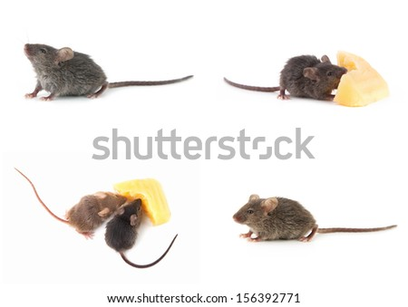 Set of mice, Mouse and cheese isolated on a white background - stock photo