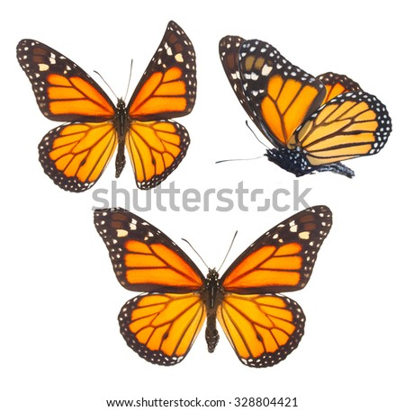 Set of orange monarch  butterflies isolated on white background