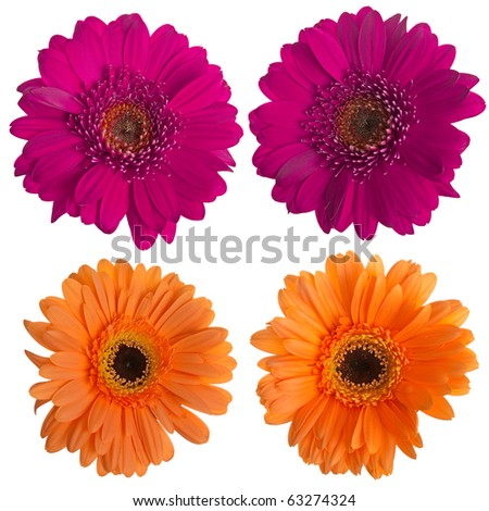 Set of pink and orange gerbera flowers