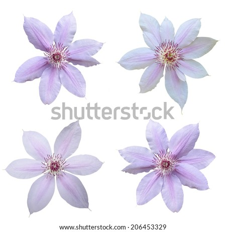set of pink clematis flowers  - stock photo