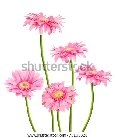 set of pink gerberas - stock photo