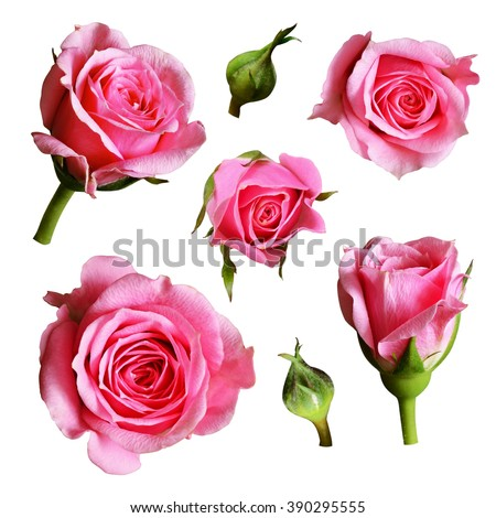 Set of pink rose flowers and buds isolated on white - stock photo