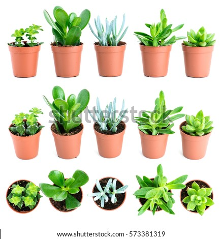 Echeveria stock images royalty free images vectors for Different types of succulent plants