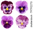 set of purple pansy on white background - stock photo