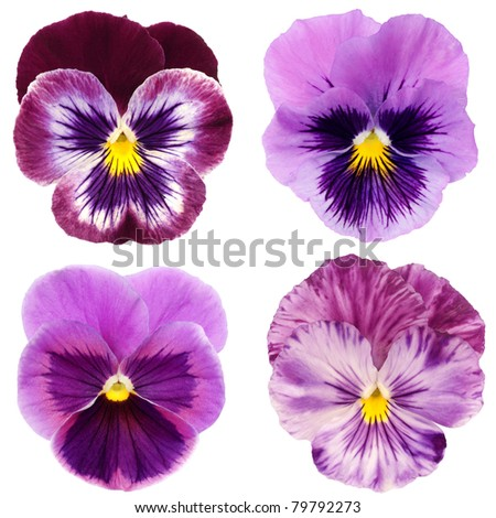 set of purple pansy on white background