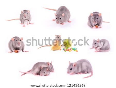 Set of rats isolated on white - stock photo