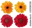 Set of red and yellow gerbera flowers isolated on white background. - stock photo