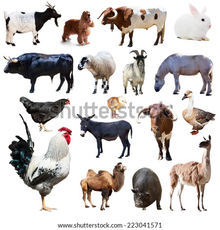 Set of rooster and other farm animals. Isolated over white background - stock photo