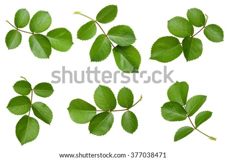 Set of rose leaves - stock photo