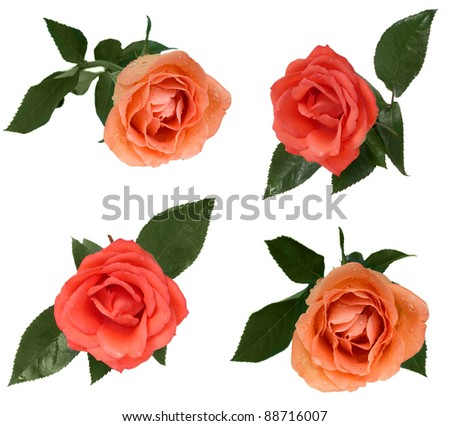 set of roses - stock photo