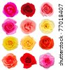 set of 12 roses blooming - stock photo