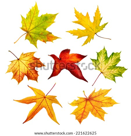 Set of seven different maple leaves of autumn, shot in studio on pure white background - stock photo