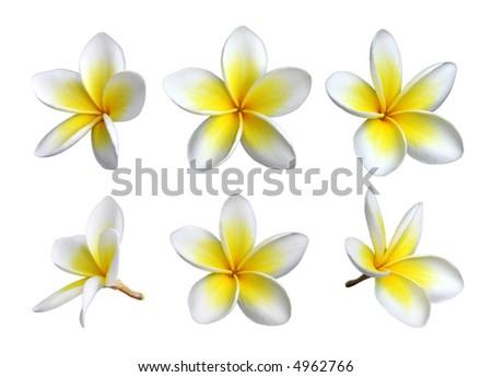 Set of six frangipanis flowers on white background - stock photo