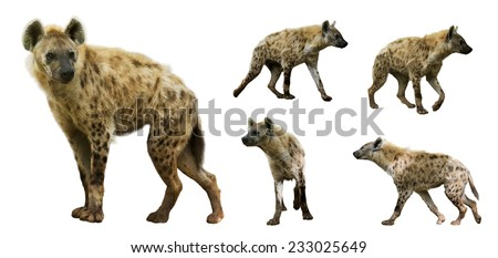 Set of spotted hyenas (Crocuta crocuta). Isolated  over white background   - stock photo