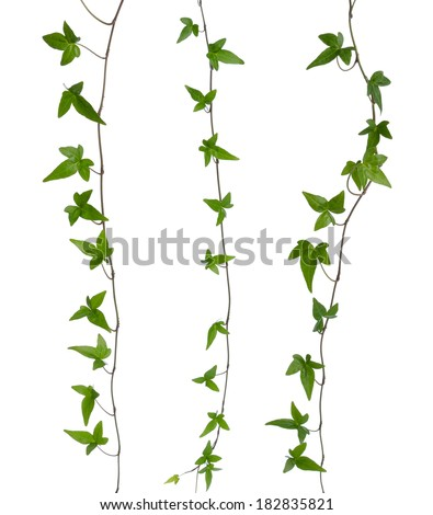 Set of straight ivy stems isolated. Green ivy (Hedera) stem isolated on white background. Creeper Ivy stem with young green leaves. - stock photo