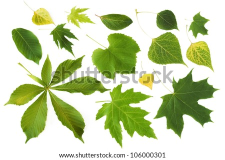 Set of summer and autumn leaves (maple, wild grapes leaf, poplar leaf,  nut tree leaf) isolated on white background