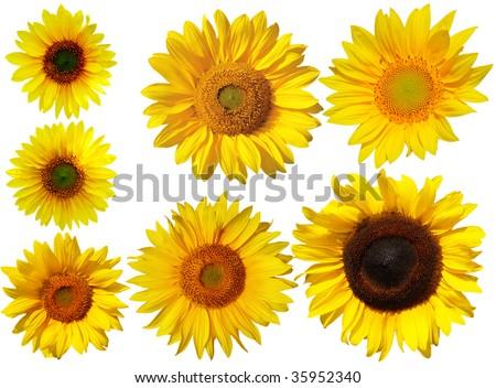 Set of sun flowers isolated on white background - stock photo