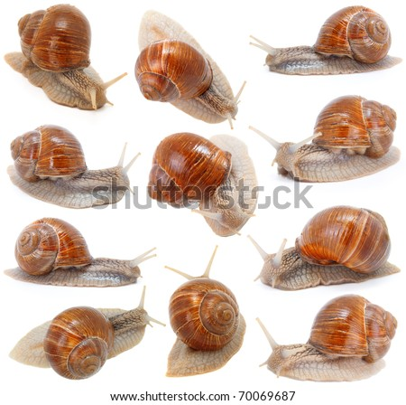 set of the garden snail in front of white background - stock photo