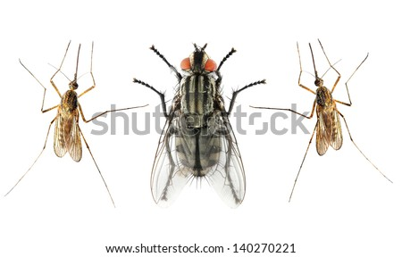Set of The House Fly  and The Anopheles Mosquito. - stock photo