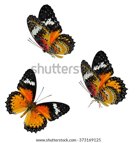 Set of the most beautiful butterfly, Leopard Lacewing butterfly (Cethosia cyane) isolated on white background, exotic nature - stock photo