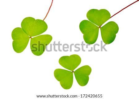 Set of three oxalis leaves isolated on white background - stock photo