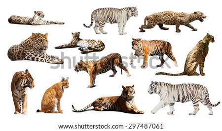 Set of  tiger and other big wildcats. Isolated over white background with shade - stock photo