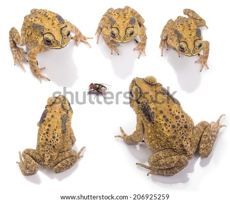 Set of Top view of Golden color skin and orange neck toad, fly  on White background and isolated. Toads are associated with drier skin and more terrestrial habitats than animals commonly called frogs - stock photo