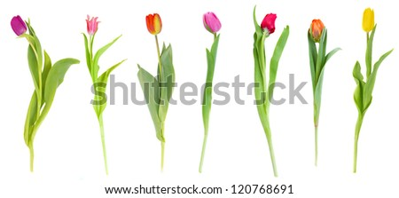 set of tulips isolated on white background - stock photo