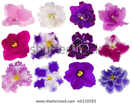set of twelve violet isolated flower - stock photo