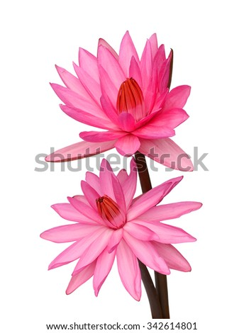 Set of two pink lotus flowers or waterlily standing on white background - stock photo