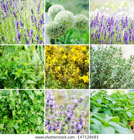 Set of various plants and herbs. Lavender, basil, thyme, petersille, dill, mint, tutsan - stock photo