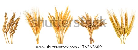 set of various wheat ears isolated on white background - stock photo