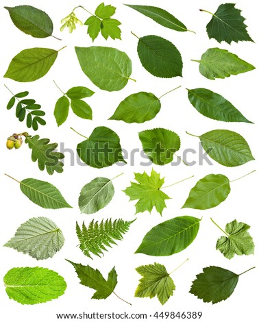 set of varuious green leaves isolated on white - hawberry, maple, acer, sambucus, elderberry, birch, fern, fraxinus, ash, oak, acorn, peppermint, honeysuckle, tilia, lime, caragana, acacia, etc