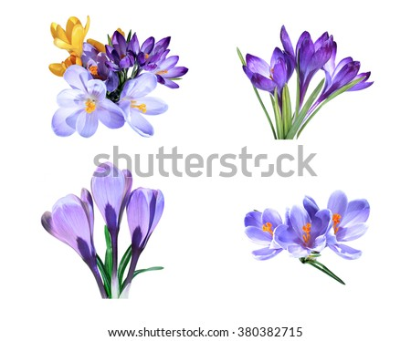 Set of  Violet and yellow flowers of crocus isolated  - stock photo