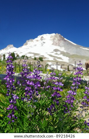 Set of violet lupine flowers with soft focus snow covered mountain and blue sky in background - stock photo