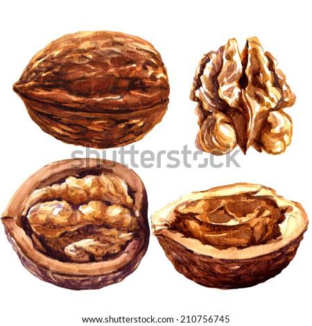 set of walnuts isolated on white background. - stock photo