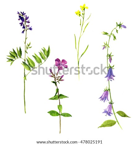 Set of watercolor drawing wild flowers and herbs, isolated painted plants, botanical illustration in vintage style, color floral elements, hand drawn natural image