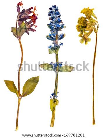 Set of wild alpine flowers pressed, isolated - stock photo