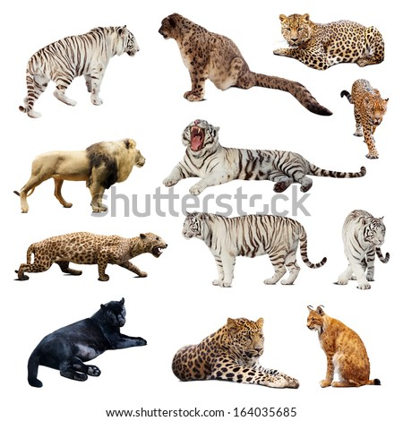 Set of  wildcats. Isolated over white - stock photo