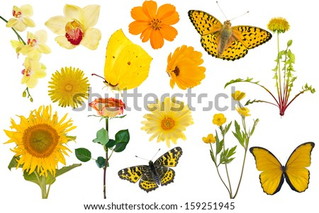 set of yellow flowers and butterflies isolated on white background - stock photo