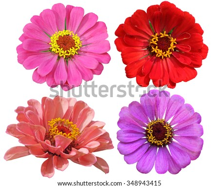 Set of Zinnias Flower Heads isolated on white background - stock photo
