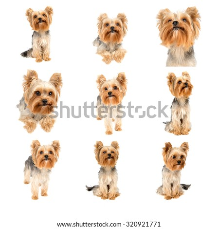 Set or collection of portraits of Yorkshire terrier pure breed on white background